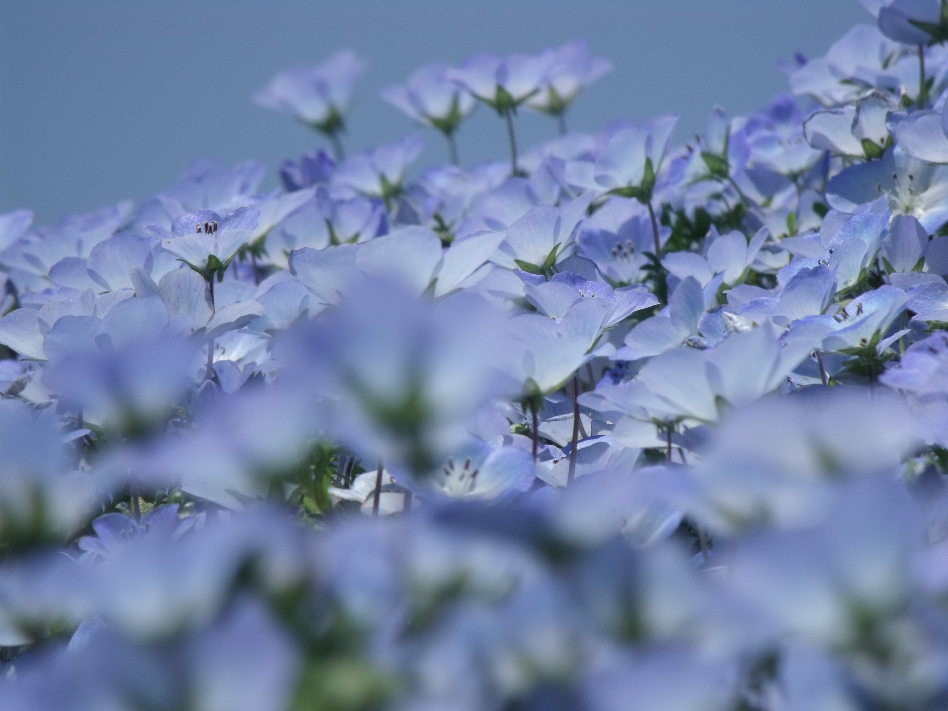 Nemophila (Ibaraki) - Photo by hydroxyquinol